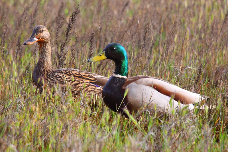 IMG_9657 Mallard Drake and Hen
