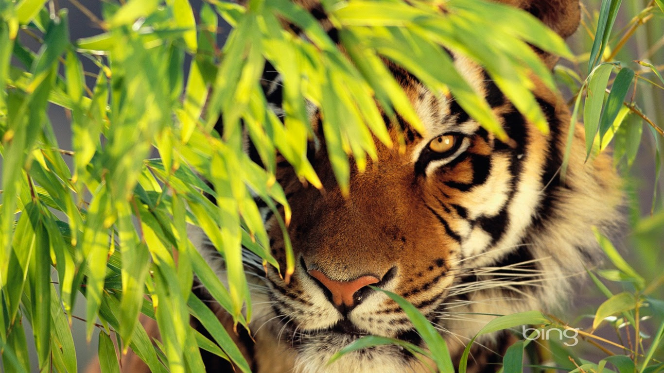 Bengal Tiger Wallpaper Best Wallpapers Hd Gallery