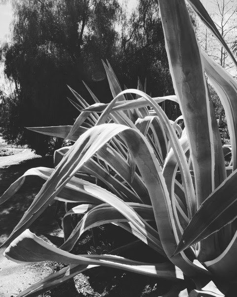 My Word with Douglas E. Welch » Agave in Black & White