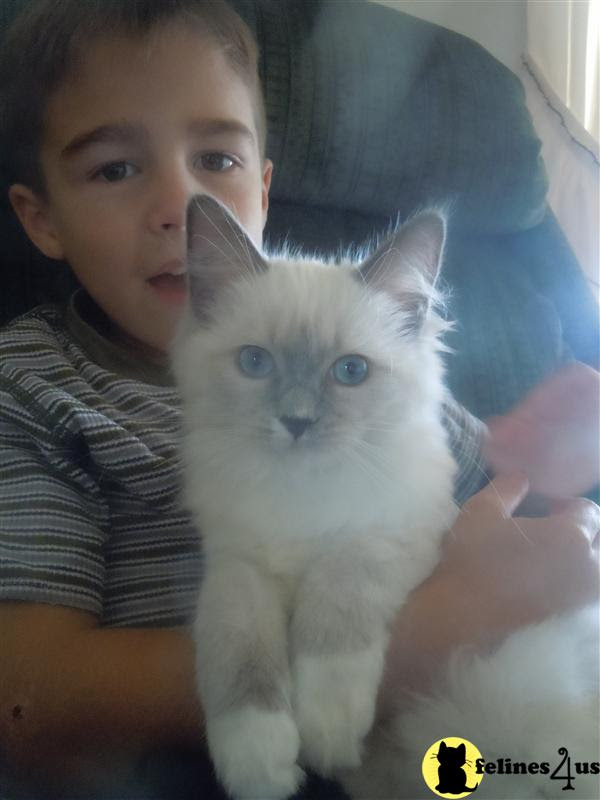 Kitty Cats In My Life Www Loveragdolls Com Ragdoll Kittens For Sale Cats Amp Breeders