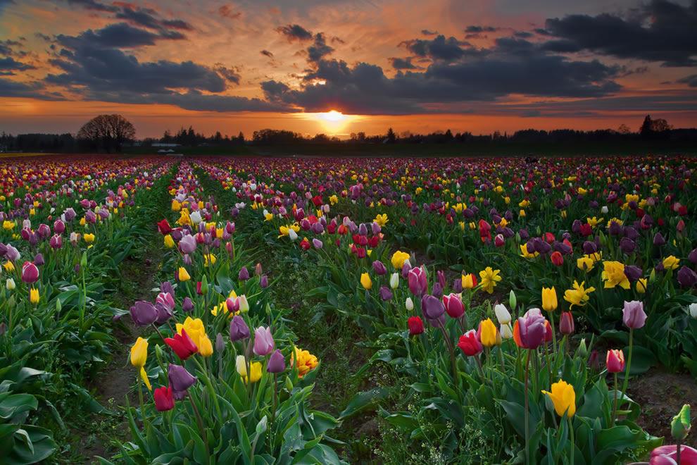 Όρεγκον Πεδία Tulip στο ηλιοβασίλεμα