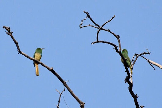 The BLUE THROATED BEE-EATER