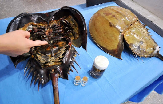 'Living fossil' crabs mysteriously dying in Japan
