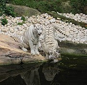White tigers drinking.