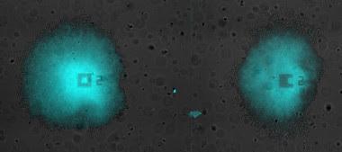 <p>Oscilaciones sincronizadas en un par de biofilms de <em>Bacillus subtilis</em> creciendo en la misma cámara de microfluídica. El color cian representa la fluorescencia emitida por el colorante de potencial de membrana Thioflavin T. / Universidad Pompeu Fabra, Universidad de California.</p>