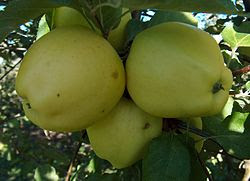 Malus Ginger-Gold.jpg