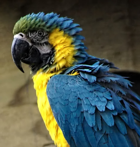 Blue & Gold Macaw 3.