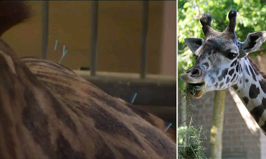 Zoo treats giraffe's pain with acupuncture