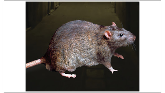 New York City Investigating Three Cases of Leptospirosis - PCT - Pest Control Technology