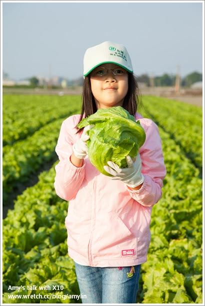 生菜採收DIY (6)