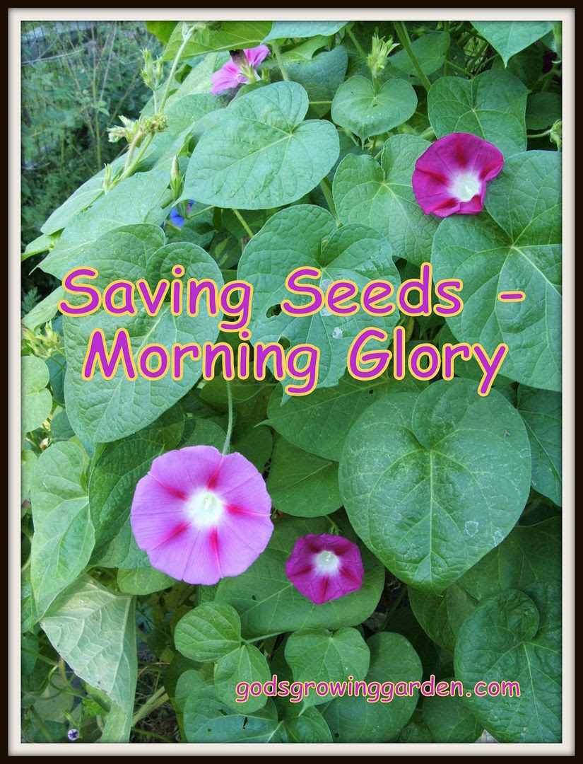 Morning Glory Seeds by Angie Ouellette-Tower for godsgrowingarden.com photo DSCF1804_zps5afad6e9.jpg