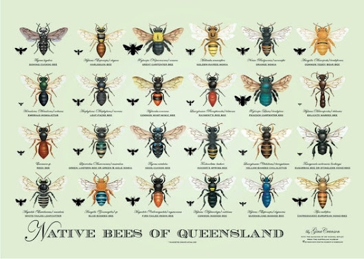 Native Bees of Queensland  Poster