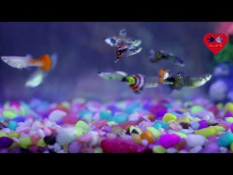 Guppy fish video