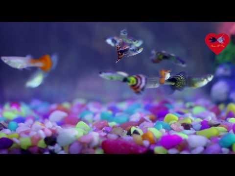 Guppy fish video