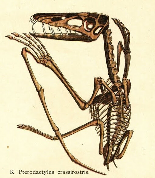 Pterodactylus crassirostris 1888