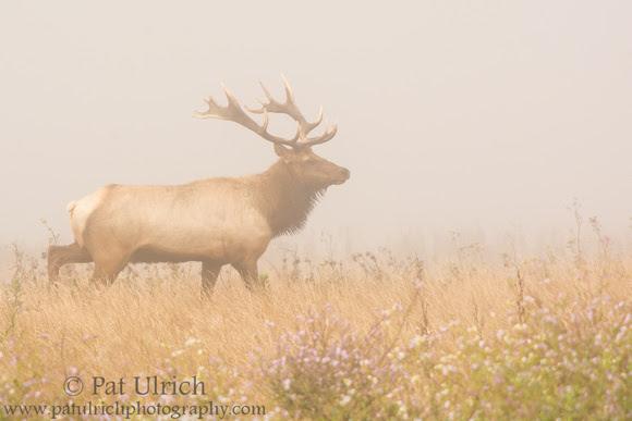 Tule elk in the fog at Point Reyes National Seashore