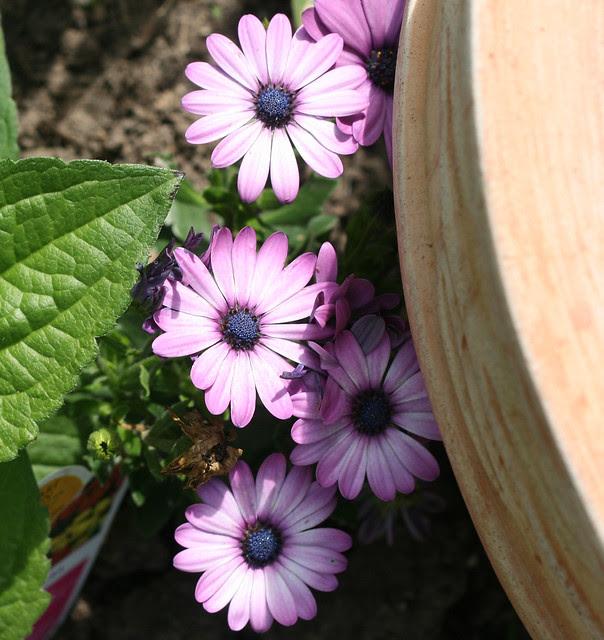 daisy-purple