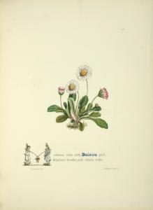[Daisies.] Digital ID: 1610143. New York Public Library