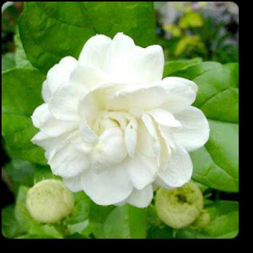 Jasminum Sambac Mogra Arabian Jasmine