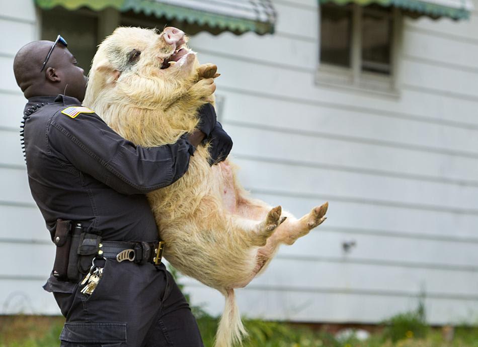 Αστυνομικός μεταφέρει χοίρο που περιφερόταν στους δρόμους της Βόρειας Καρολίνας (AP Photo)