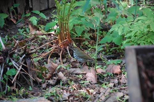 Ovenbird, Seiurus aurocapillus