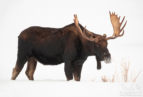 Moose in Snow, Yellowstone National Park, Wyoming