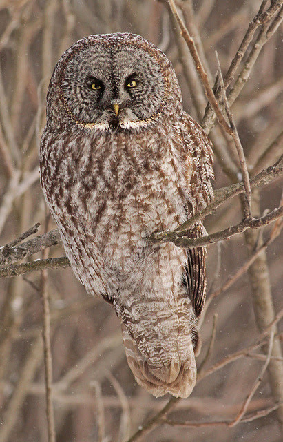 jaws-and-claws:  Great Grey Owl by uropsalis on Flickr.  He looks like a tree. Great camouflage. Who? Who me?