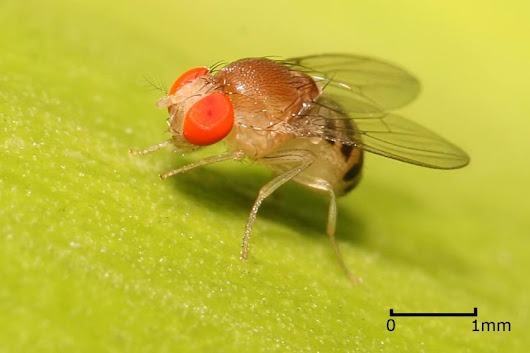 Researchers discover neurons for balancing sleep and sex in fruit flies