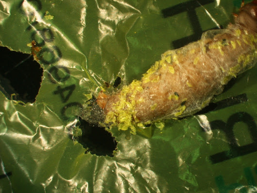 Stubborn plastic may have finally met its match: the hungry wax worm