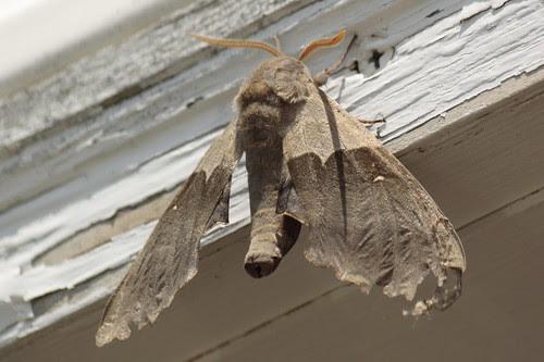 Modest moth (2)