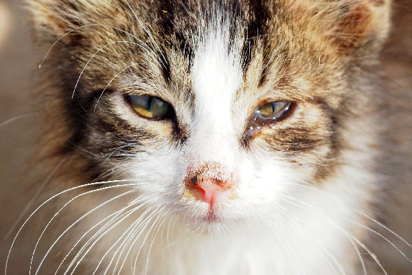 Let's Talk Uveitis in Cats and Why Your Vet Should Check ...