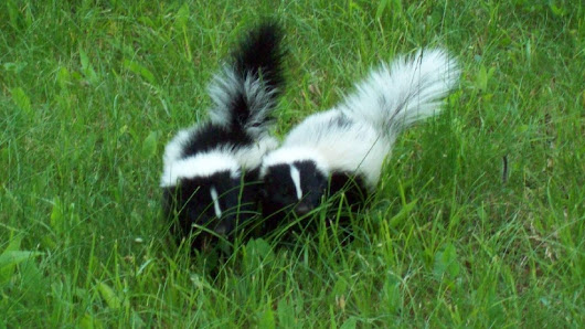 Bill could allow skunks as pets in Tennessee