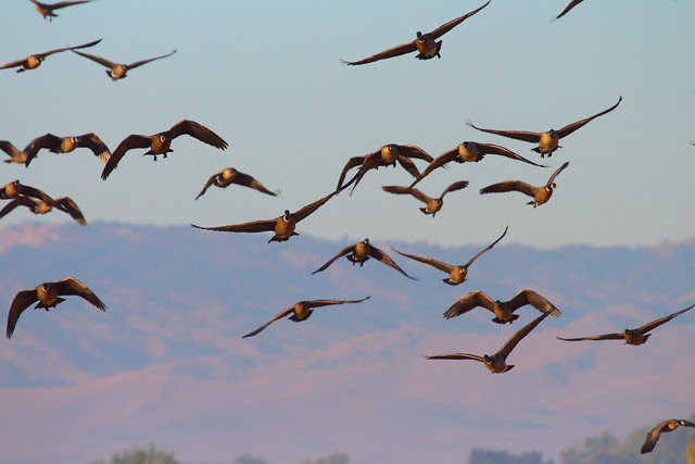 IMG_1766 Aleutian Cackling Geese