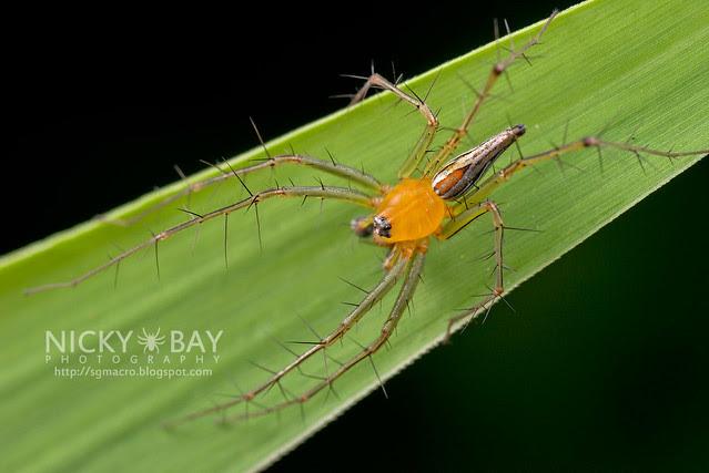 Lynx Spider (Oxyopidae) - DSC_2866