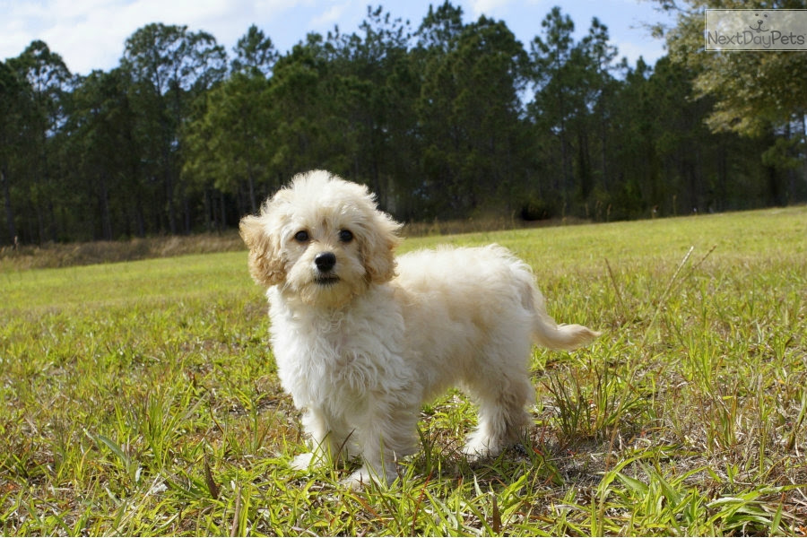 A.J.: Cavapoo puppy for sale near Sarasota-bradenton ...