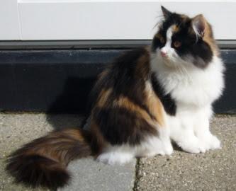 gato calico persa