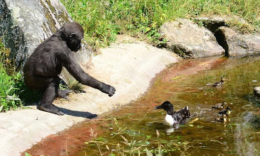 Baby gorilla driven quackers by ducks trying to make their home