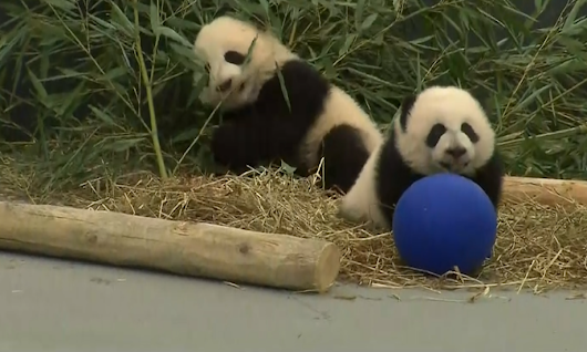 Justin Trudeau hails birth of panda cubs – video | World news | The Guardian