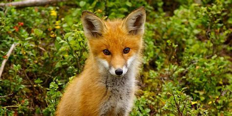 Red Fox (Vulpes vulpes). Part II.   pgcps mess   Reform Sasscer without delay.
