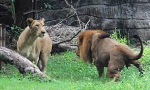 Lions at Surabaya zoo