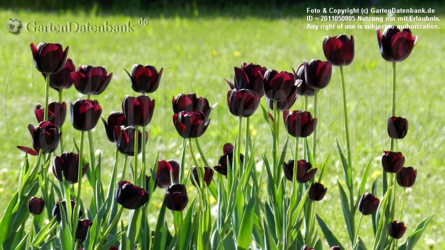 Späte Tulpen Recreado in dunklem Purpur, fast schwarz