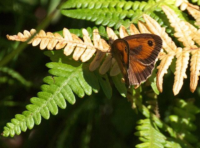 DSC_6920 Meadow Brown butterfly