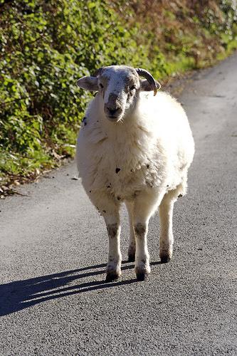 Animal Fibre - Wool, NCERT Notes, CTET Notes, CBSE Notes