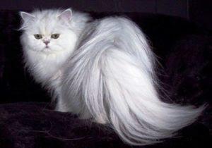 Unduh 98+  Gambar Kucing Anggora Tercantik Di Dunia Paling Bagus