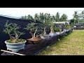 Deretan Bonsai Cantik Dijemur depan Kecamatan Bandar Negeri Suoh