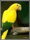 Imagem de papagaio-amarelo