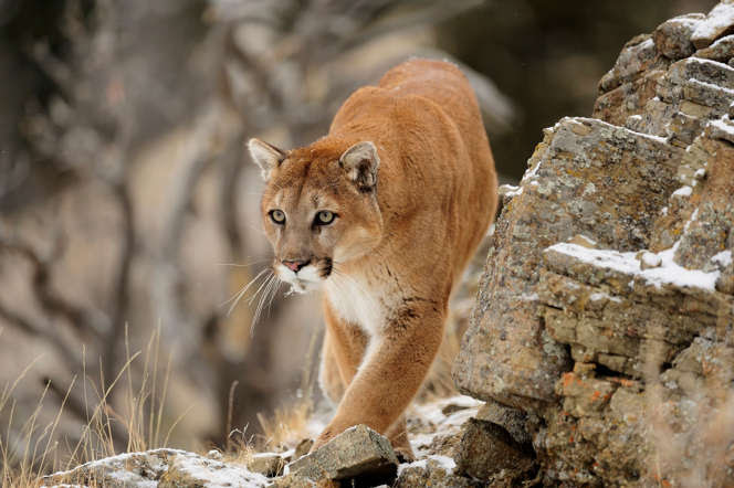 Mountain lions are solitary animals. After killing their prey, they bury it and leave, coming back to feed on it when hungry.