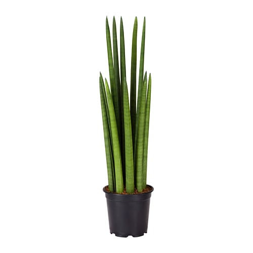 sansevieria cylindrica potted plant__0554653_PE659873_S4