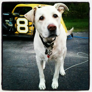 Head Crew #dog is on the job!  #8 #nelcar #legends #racecar #racing #dogstagram #instadog #love #bigdog #mutt #adoptdontshop