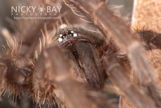Tarantula (Phlogiellus inermis) - DSC_0661